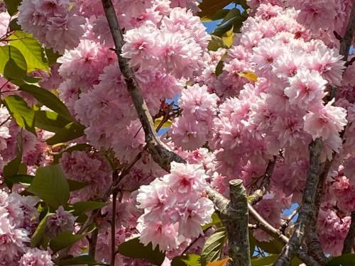 #1 Cherry blossom (1)